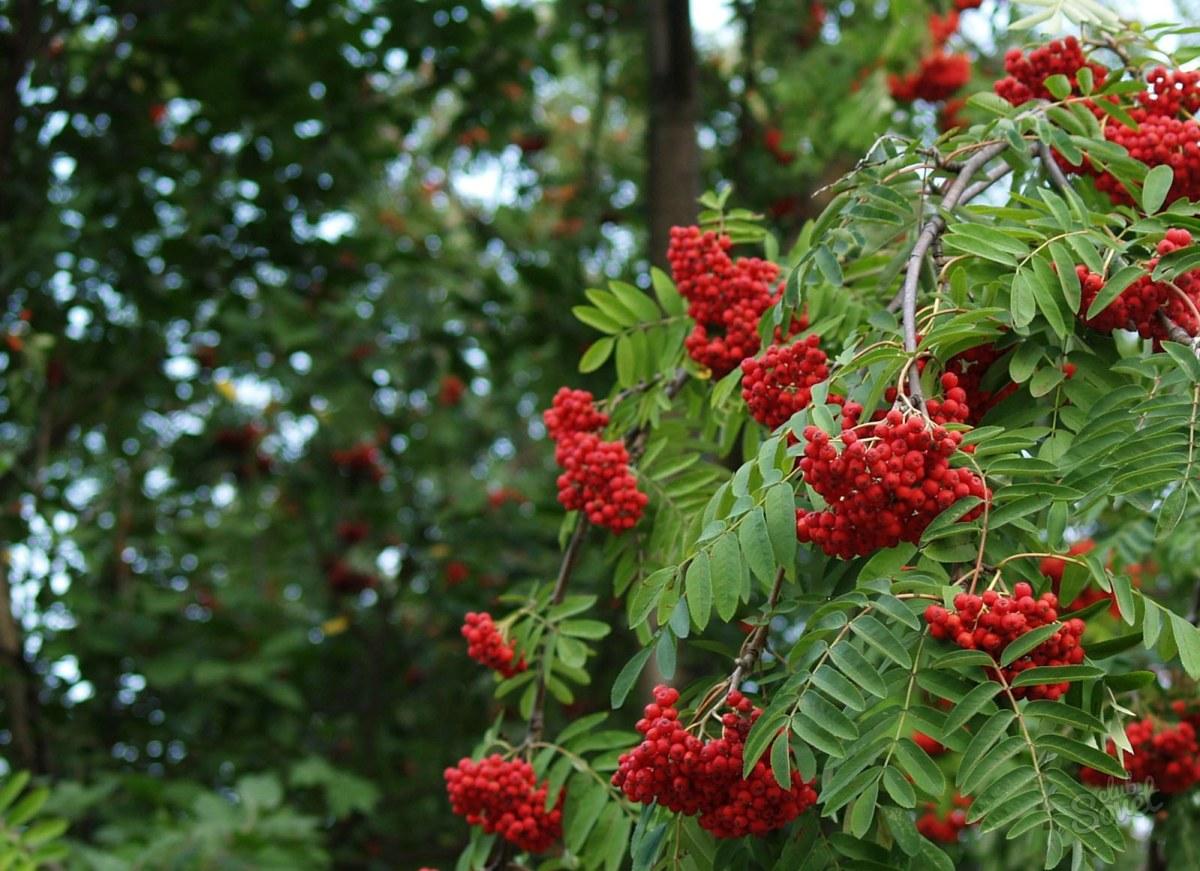 Можно ли пересадить на участок красную рябину из леса 31