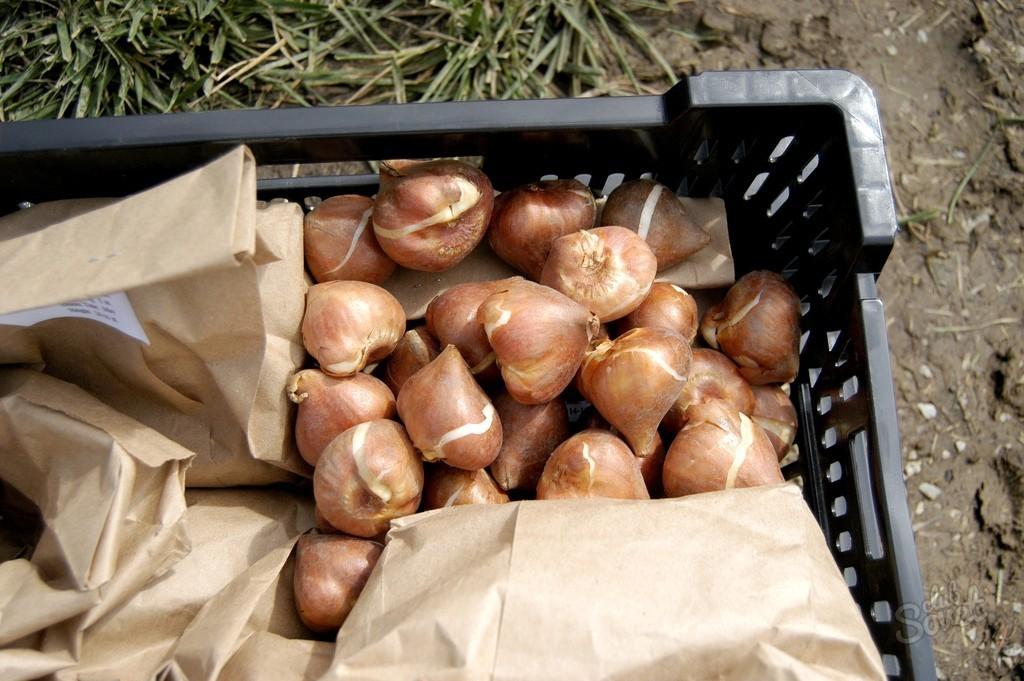 Гладиолусы выращивание хранение луковиц 63
