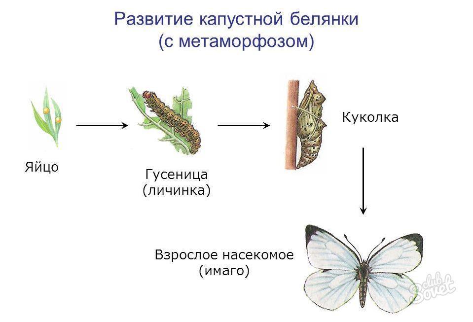 фазы развития белокочанной капусты