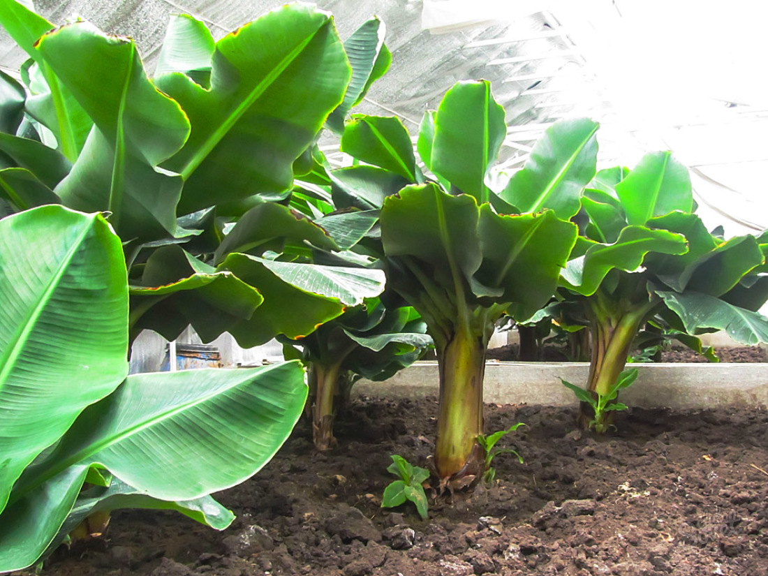 Банан выращивание в домашних условиях 982