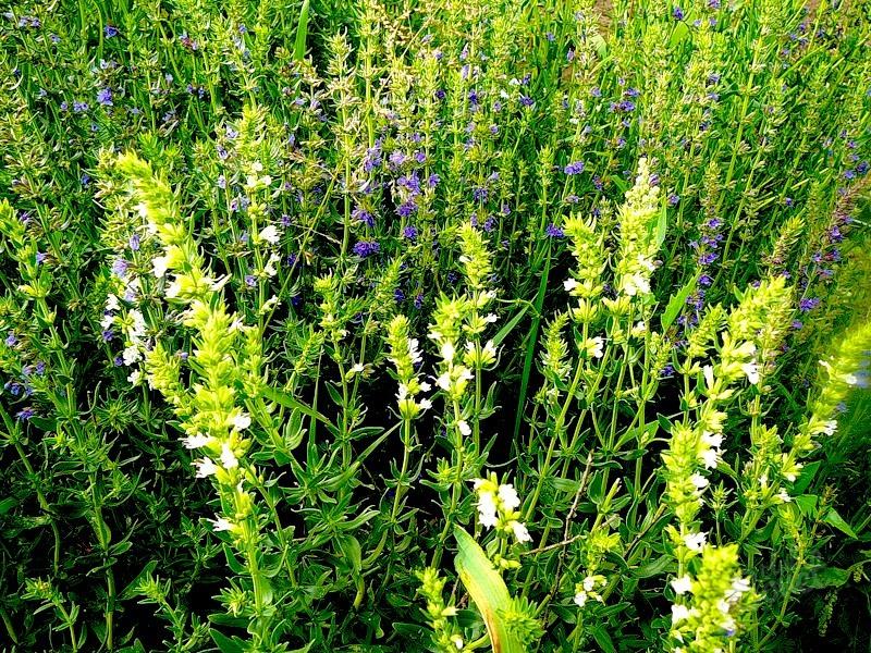 Агротехника выращивания иссопа 24