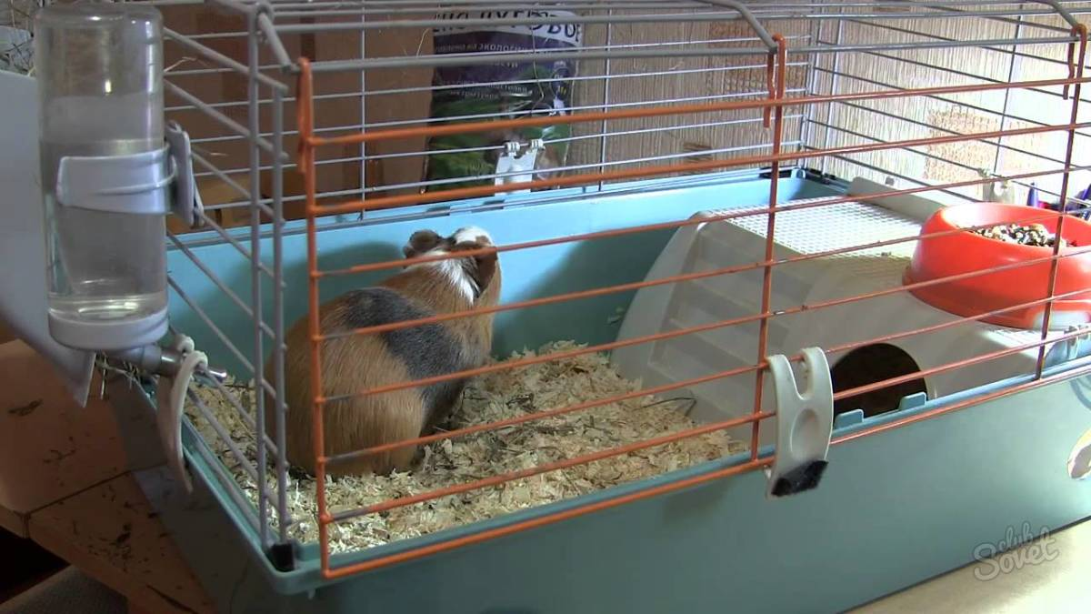 Чем кормить морских свинок в домашних условиях