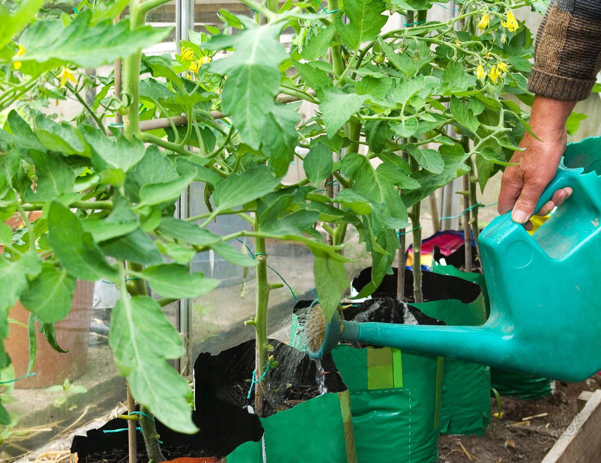 Подкормка помидоры дрожжами с фото