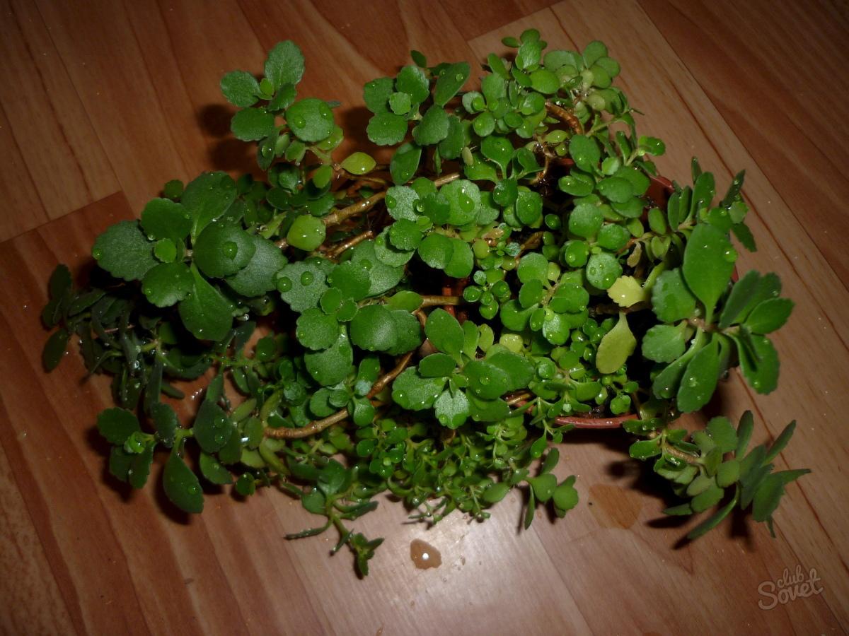 Комнатные цветы фото и названия с мелкими листьями