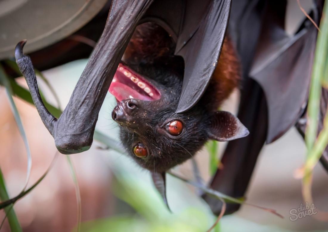 Чем питаются летучие мыши в домашних условиях  733