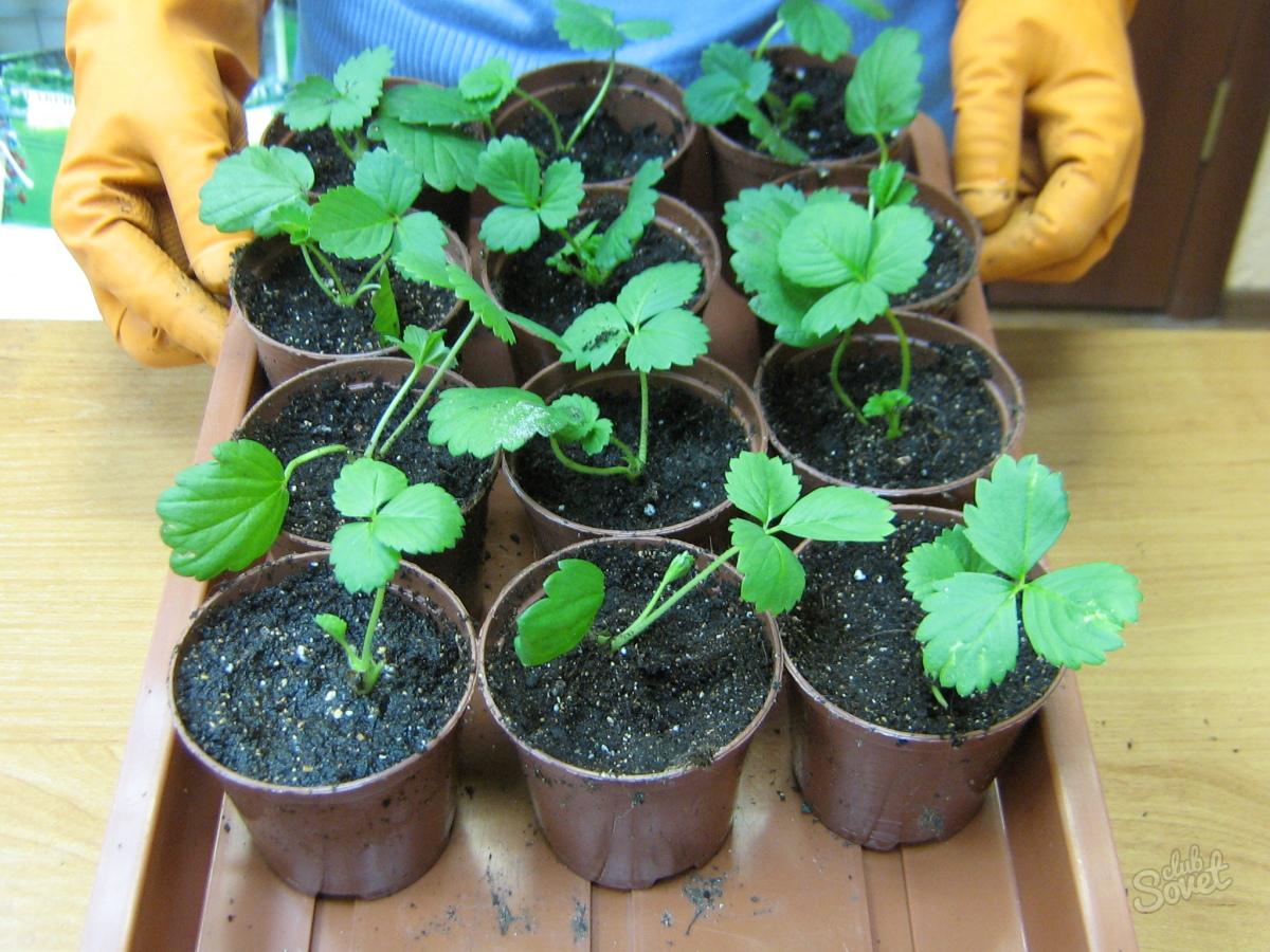 Как вырастить рассаду клубники из своих семян 460