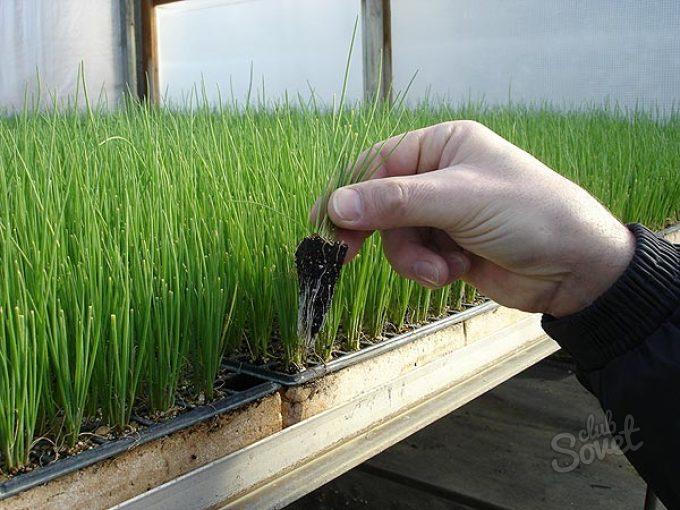 Технология выращивания лука из семян на перо 76