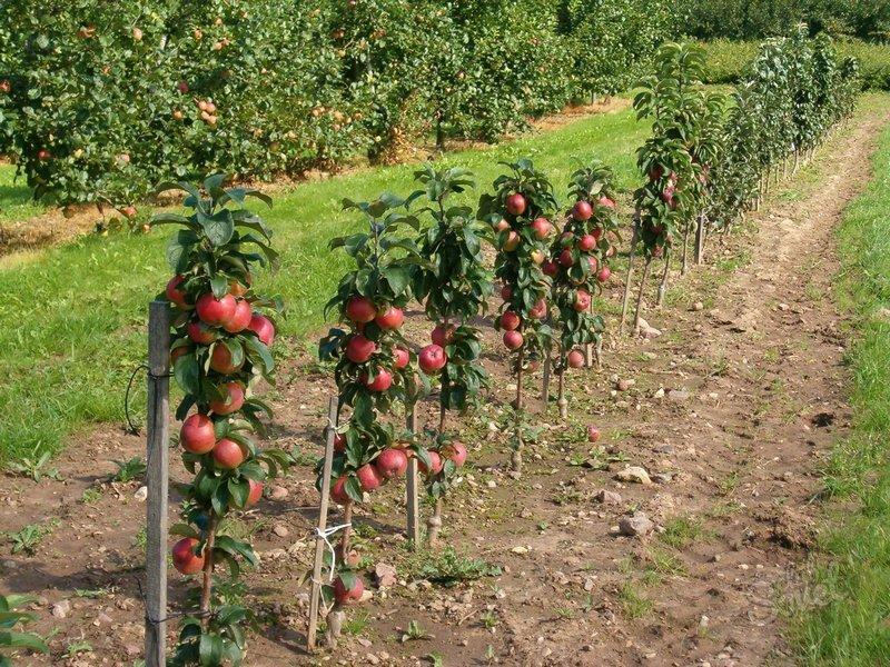Уход и выращивание яблонь 25