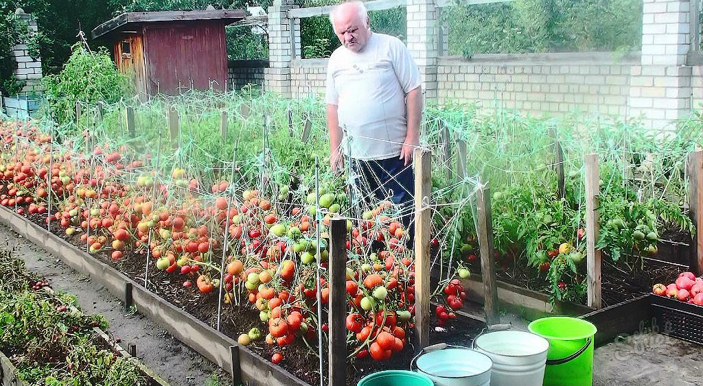 Можно ли сажать рядом с виноградом помидоры