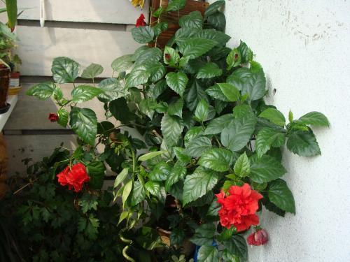 Комнатный цветок гибискус как ухаживать