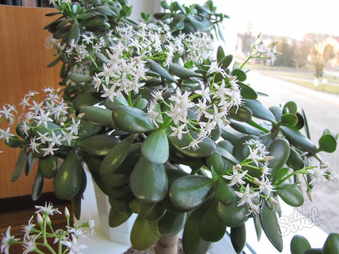 Денежное дерево уход и выращивание в домашних условиях 80