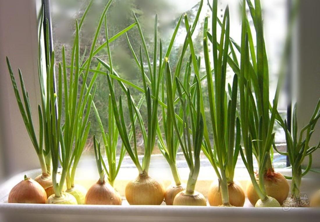 Сажаем лук на зелень 201