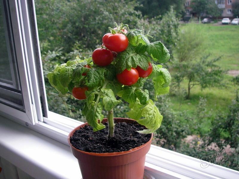 Горшечные помидоры выращивание
