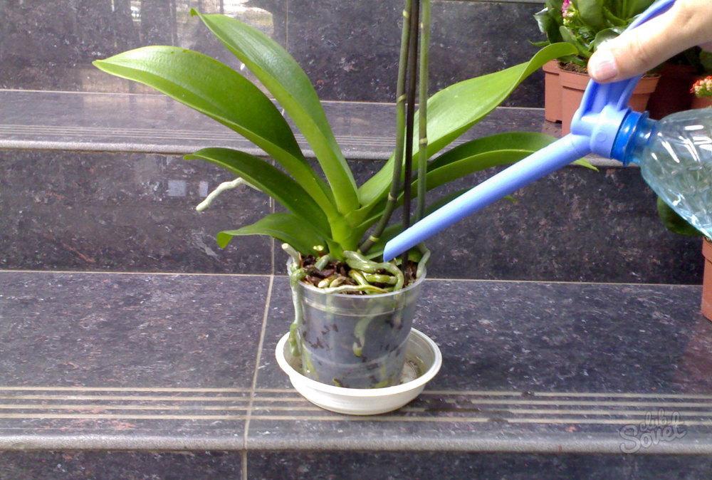 Сколько раз в неделю поливать орхидею в