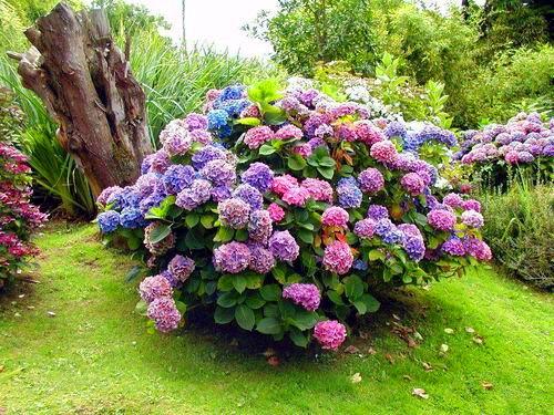 Многолетние кустовые цветы с