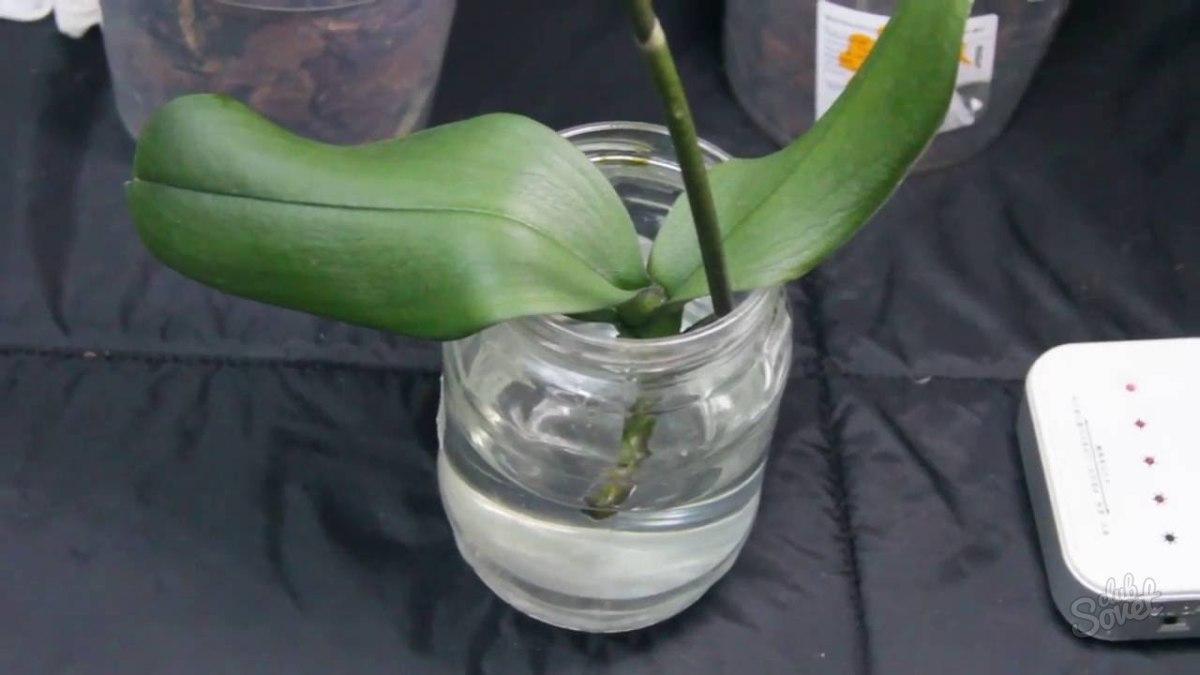 Орхидея в домашних условиях без корней 322