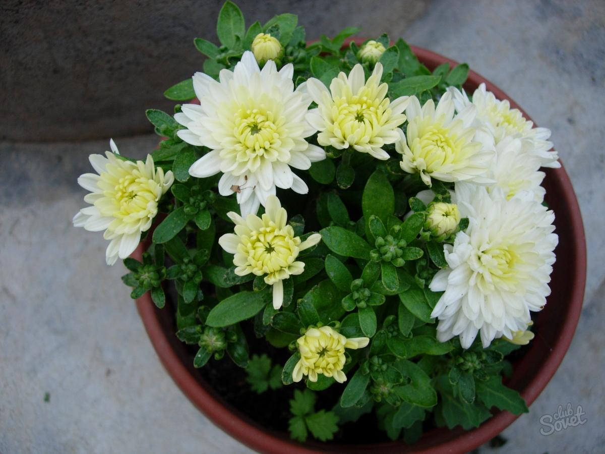 Выращивание хризантемы из букетов