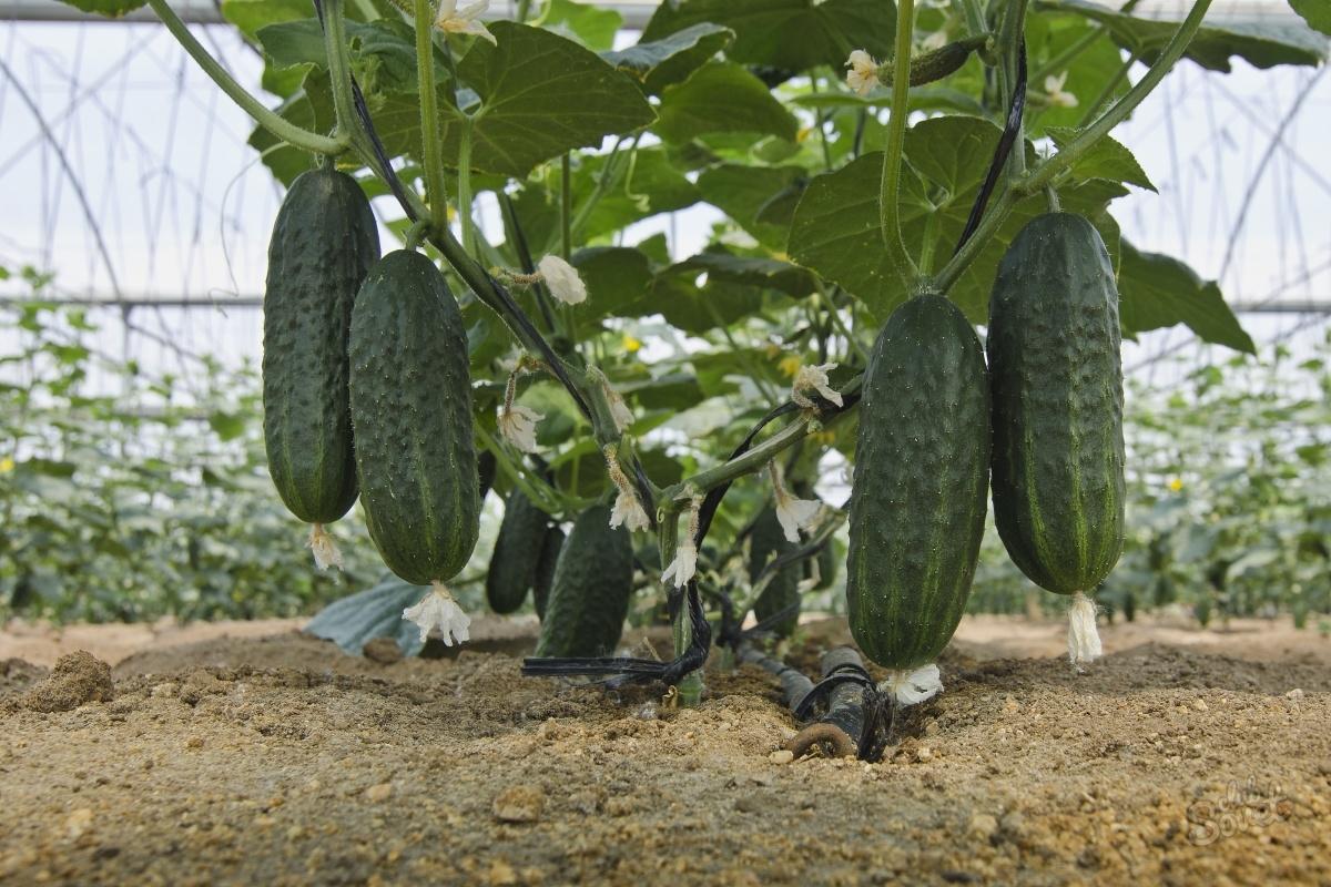 Выращивание огурцов осенью 45