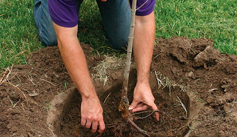 Пересадка деревьев своими руками