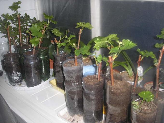Как посадить виноград из черенков в домашних условиях 881