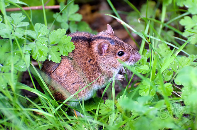 К чему снятся мыши полевки