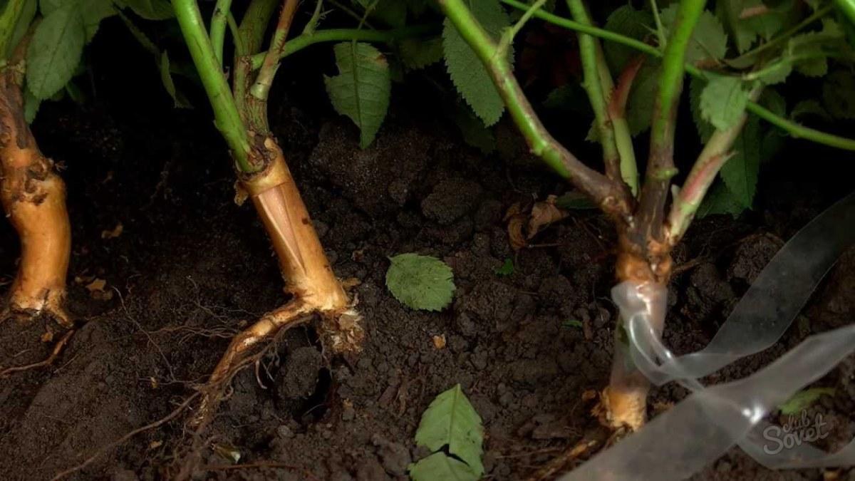 Выращивание шиповника на розы 149