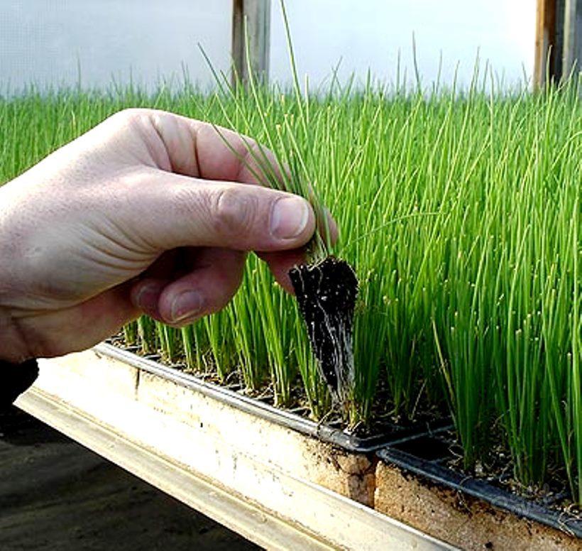 Как и когда сажать зелень в открытый грунт