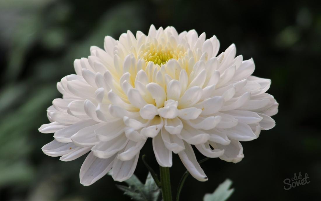 Как посадить хризантему из букета