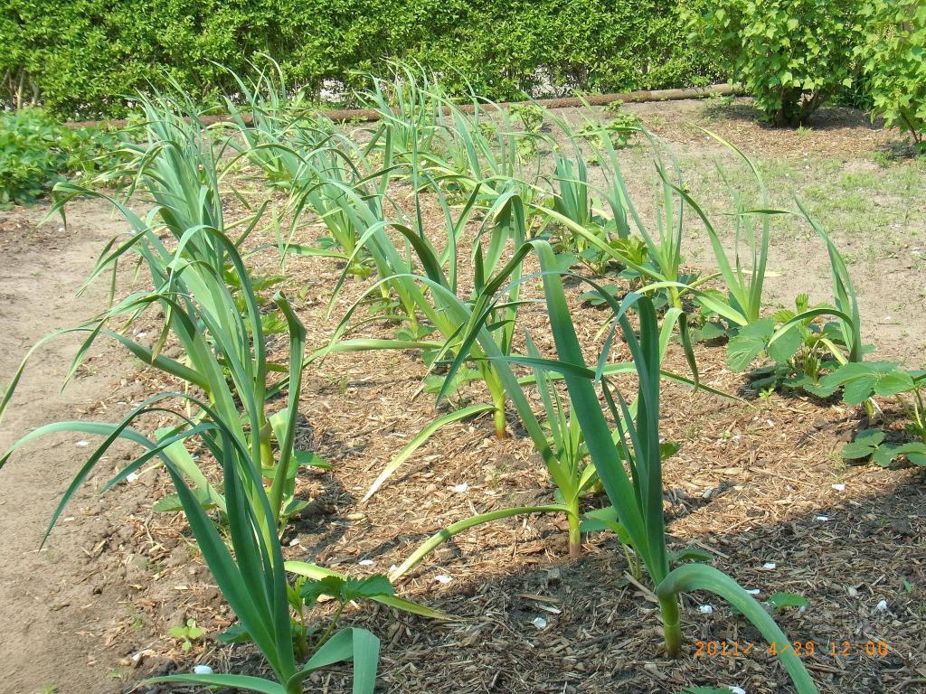 Выращивание многолетнего чеснока 45