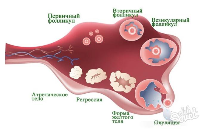 Менструальный цикл изменения в организме
