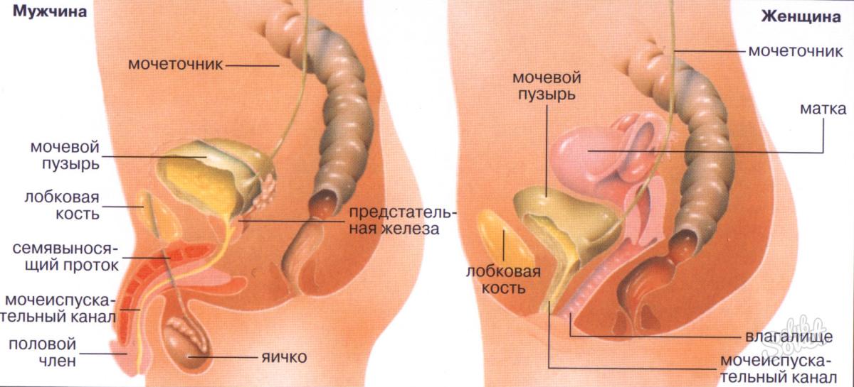 железистых органов мужской