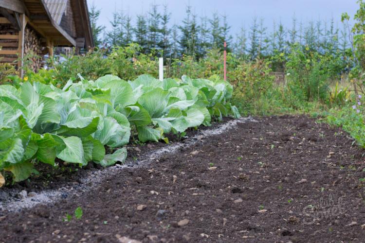 Технология выращивания ранней капусты 27