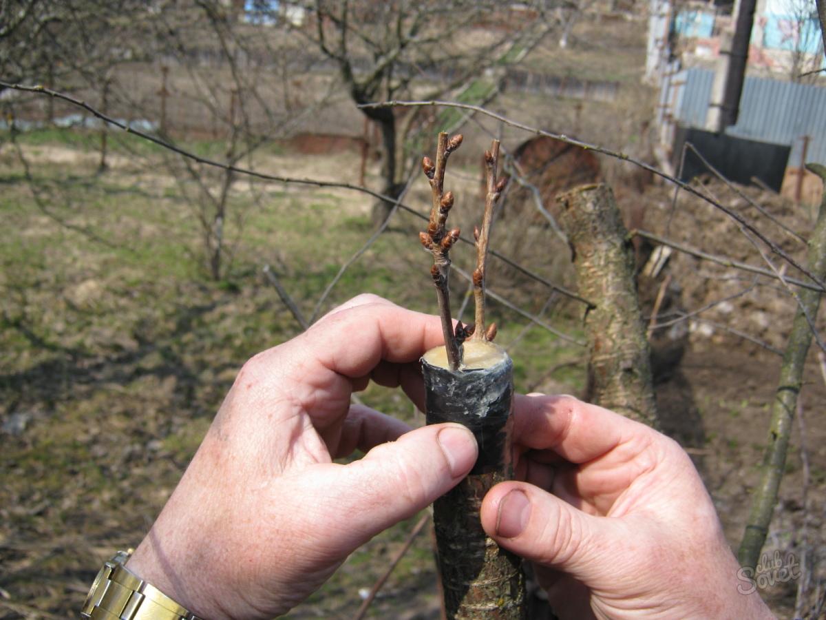 Выращивание саженцев яблони из черенков 2