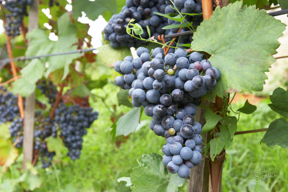 Уход за виноградом (полив, удобрение, календарь