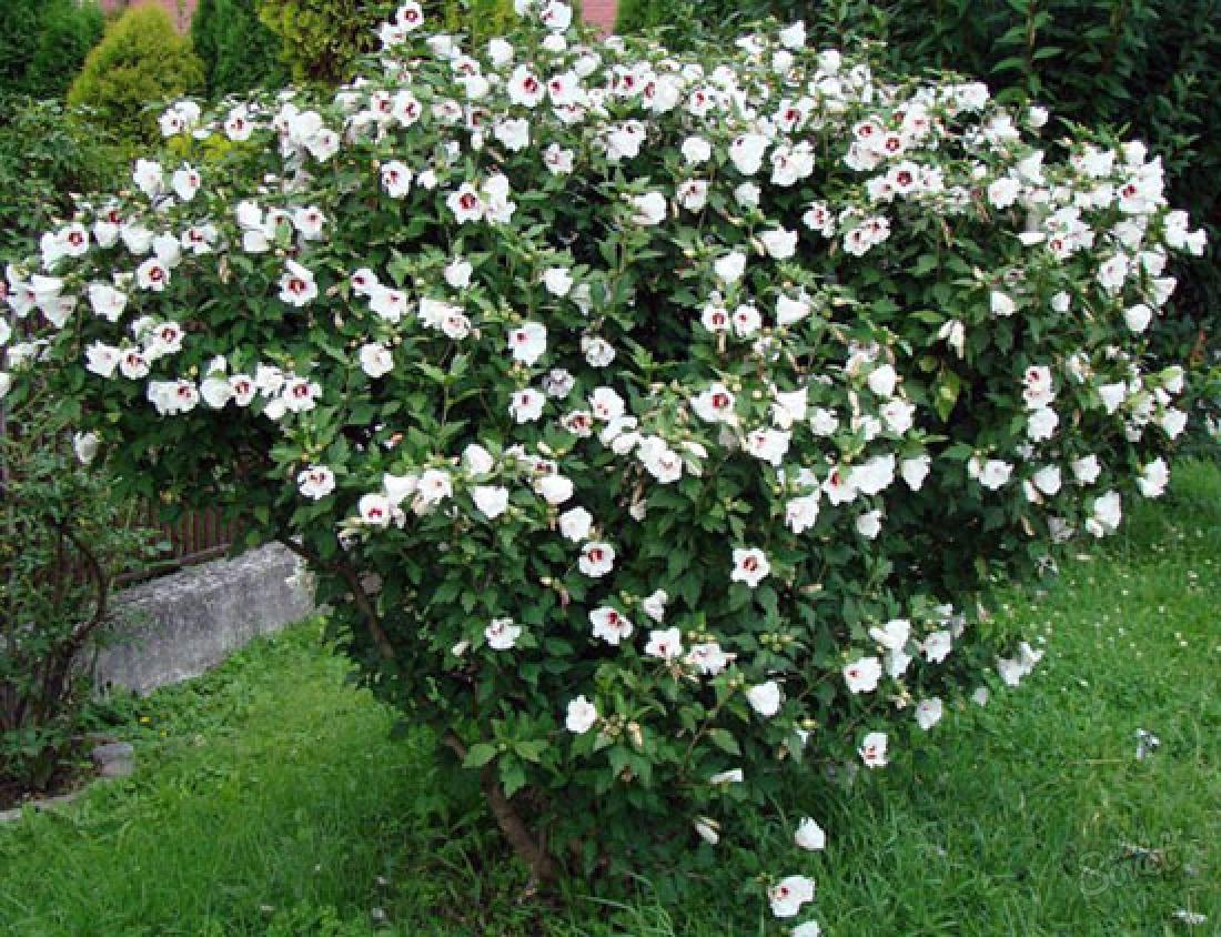 Гибискус садовый кустарник уход