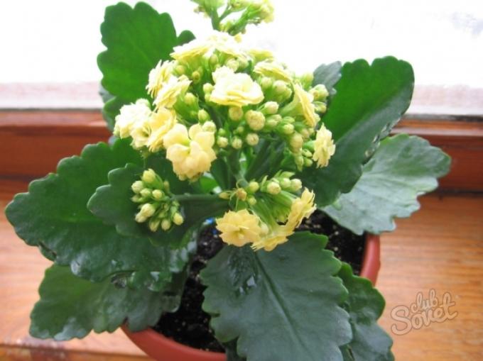Почему не цветет каланхоэ в домашних условиях а растут только листья