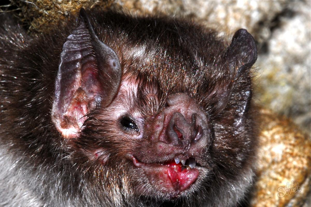 Чем питаются летучие мыши в домашних условиях  461