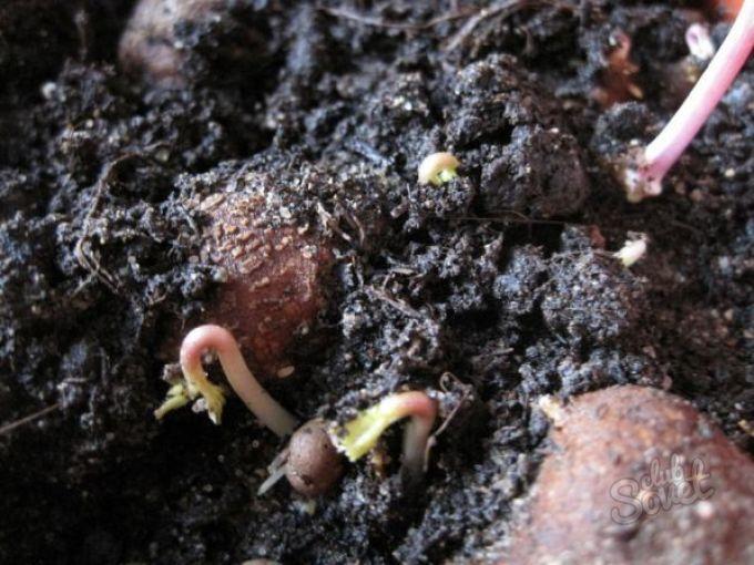 Анемона выращивание из семян когда сажать фото 50
