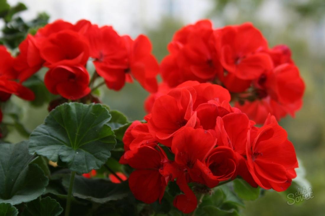 Цветок герань разновидность