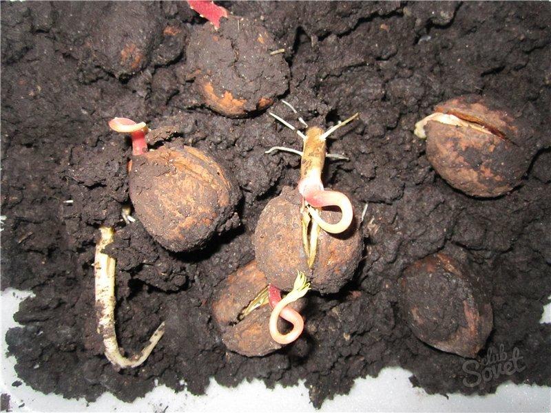 Проращивание грецкого ореха из семян