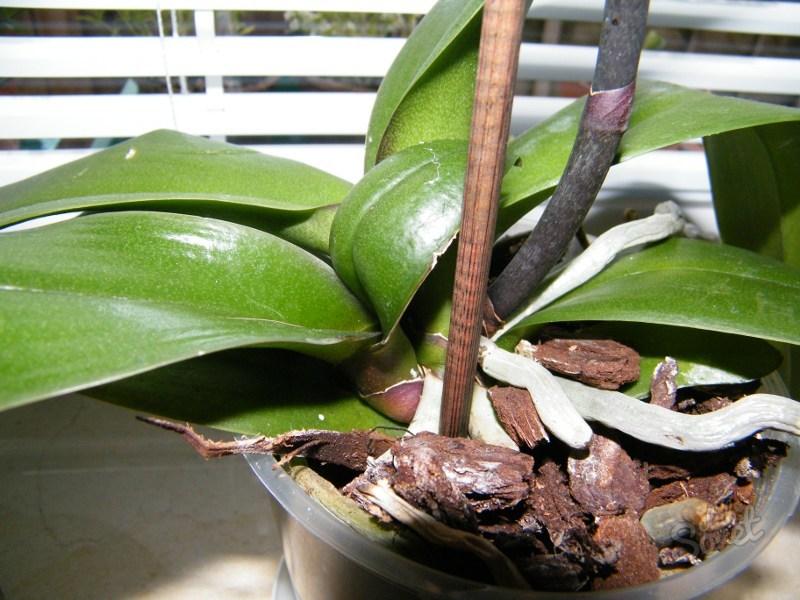 Орхидея как рассаживать в домашних условиях