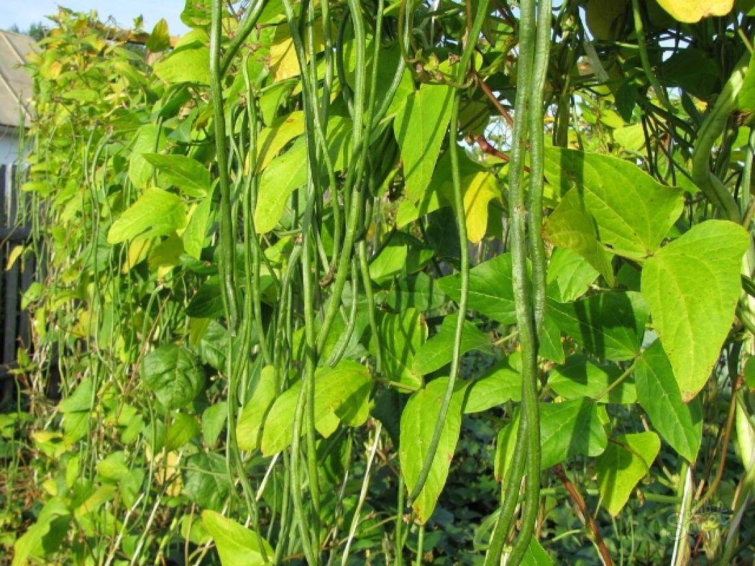 Фасоль графиня выращивание 82