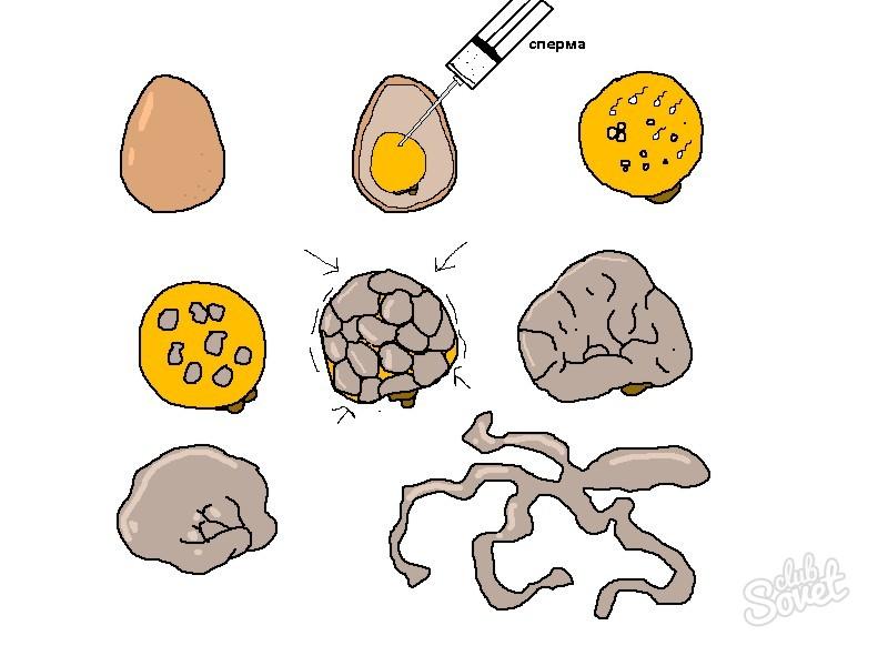 Как вырастить гомункула из яйца в домашних условиях