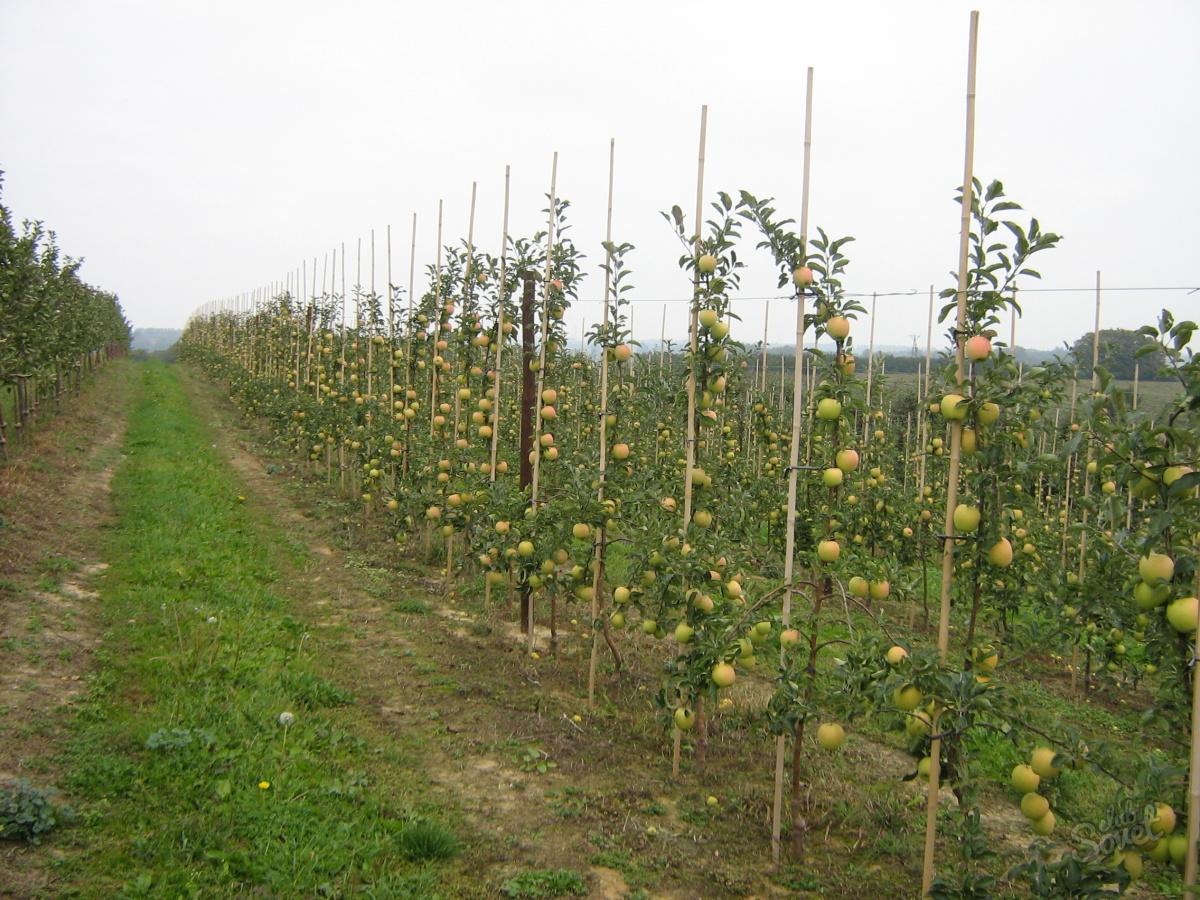 Фото планировка для яблони саженц 3 фотография