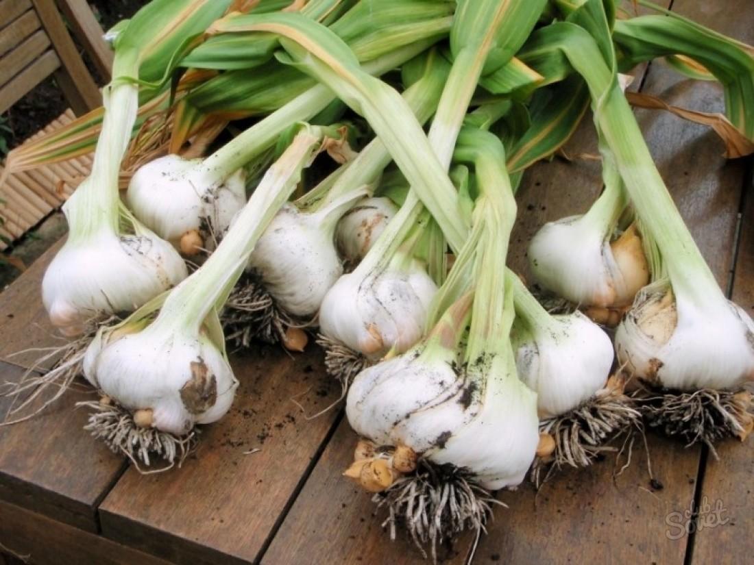 Как правильно сажать лук севок 63