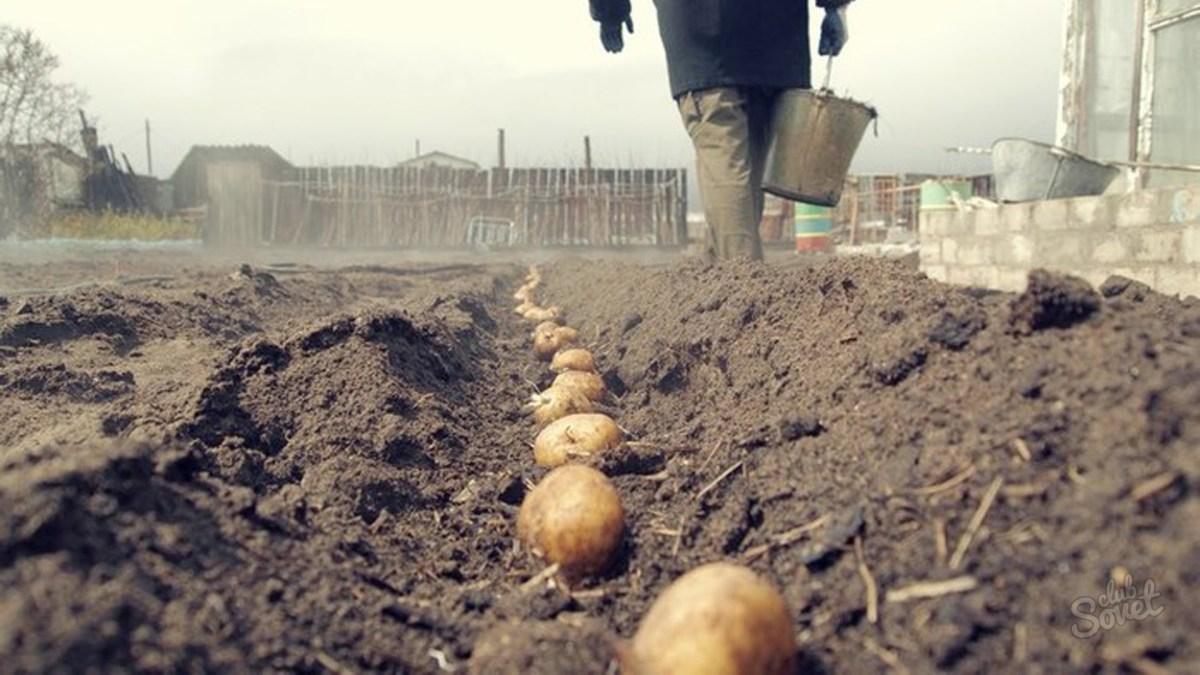 На каком расстоянии лучше сажать картошку 96