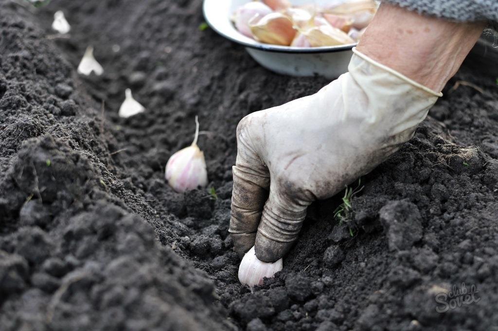Как сажать чеснок луковичный 19