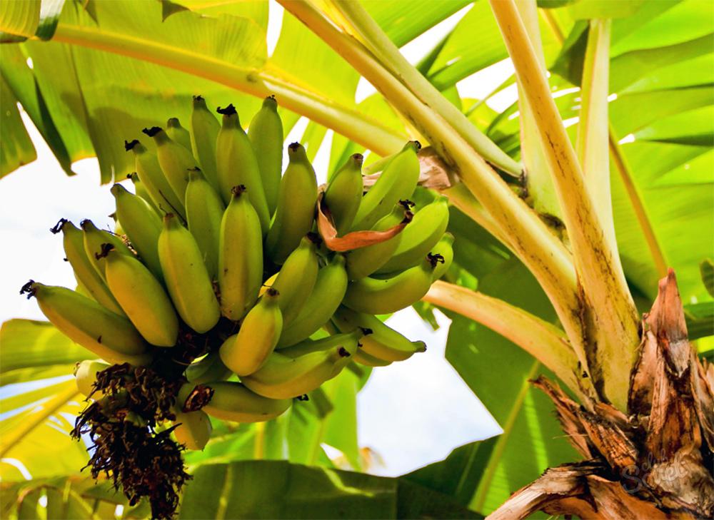 Банан выращивание в домашних условиях 213