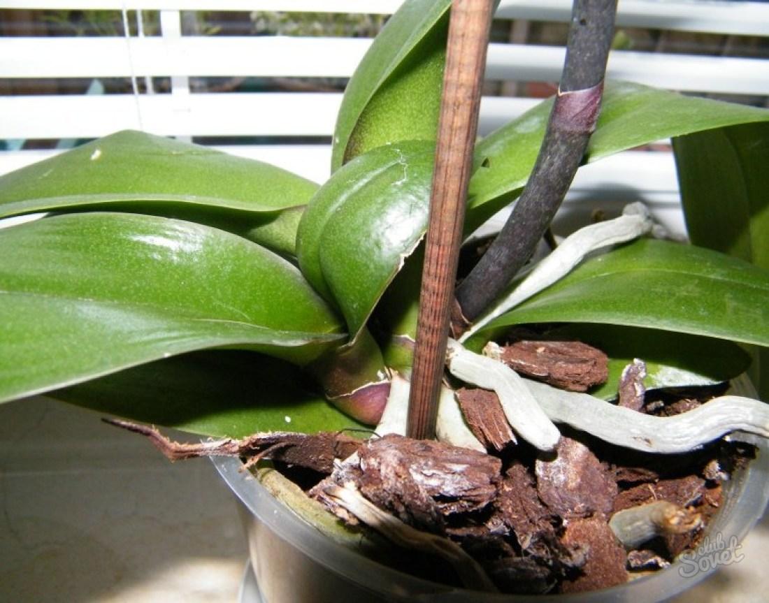 Орхидея Фаленопсис уход в домашних условиях легко и 64
