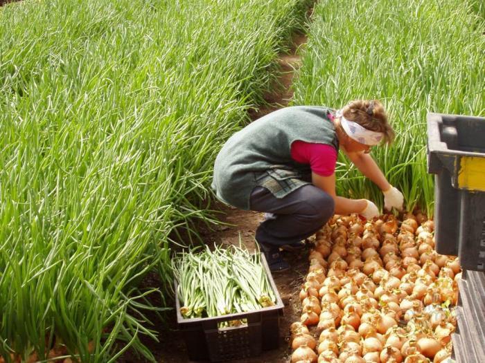 Выращивание лука на репку как бизнес 64